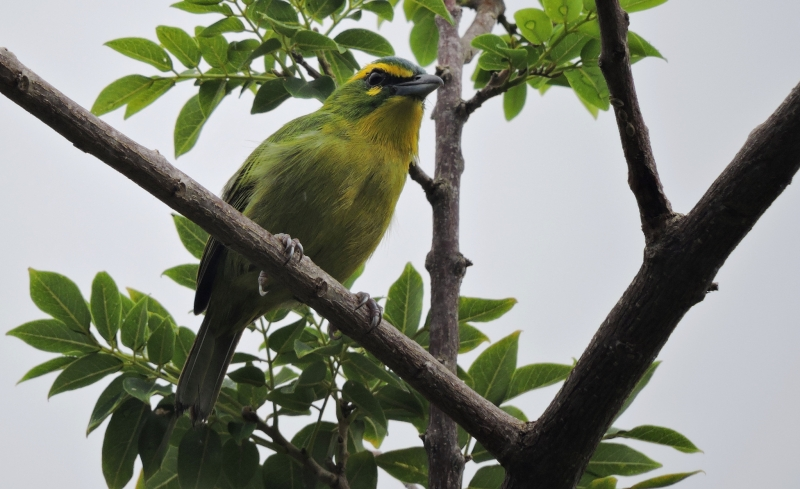 Yellow-browed Shrike-Vireo