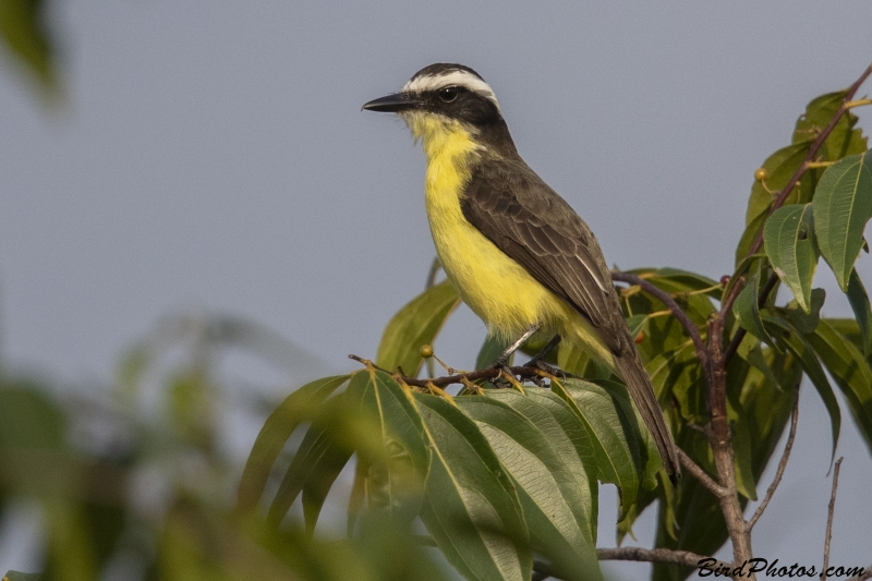 Yellow-throated Flycatcher