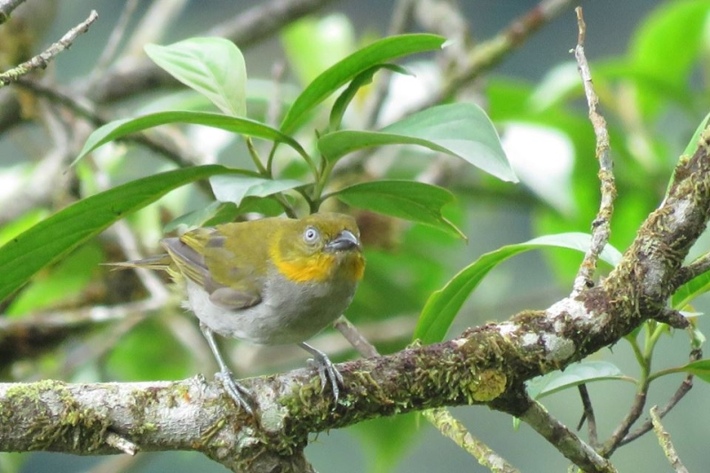 Yellow-whiskered Bush Tanager